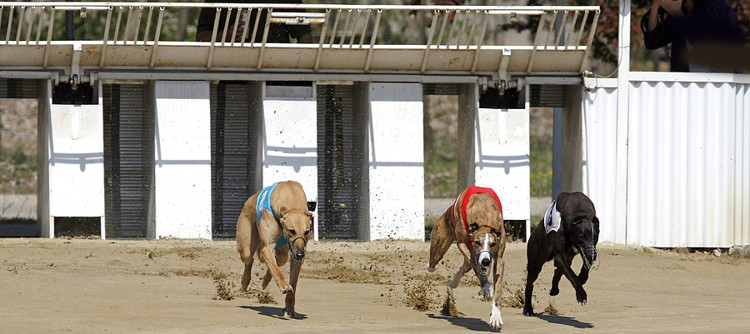 greyhounds race out of the traps