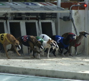 greyhounds racing out of the traps