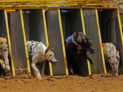 greyhounds running out of the traps