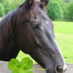 irish grand national horse eating a four leaf clover